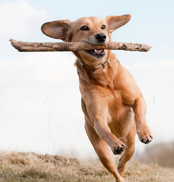 Miten valita koiranpentu